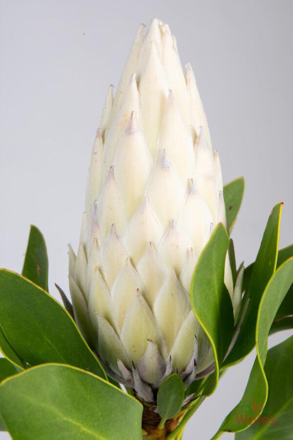 Protea King White