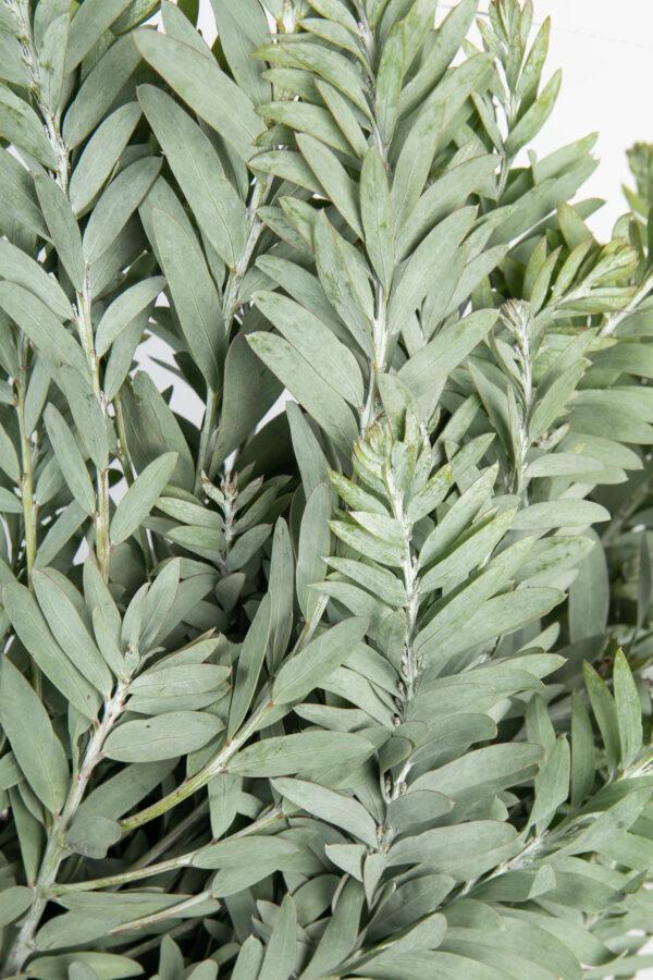 Acacia Convenyi Foliage