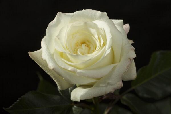 Roses Alabaster