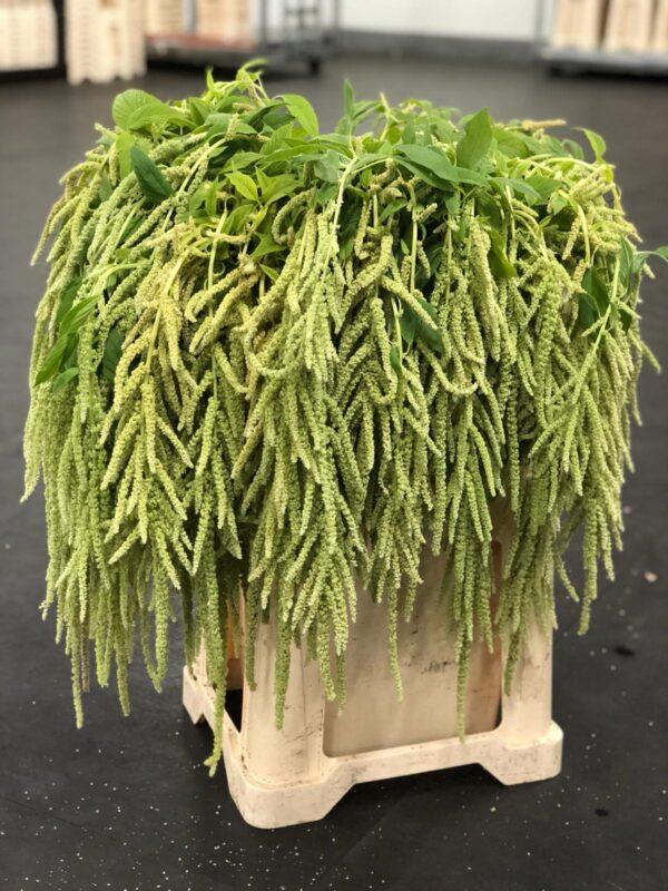 Amaranthus Hanging Caudatus Green (EUR)