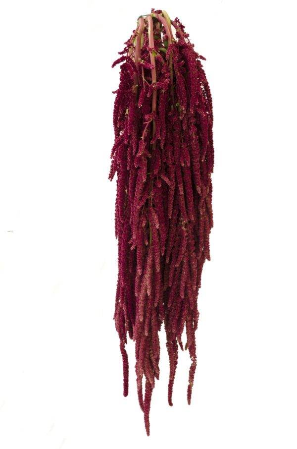 Amaranthus Hanging Caudatus Red (ECU)