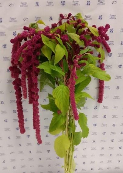 Amaranthus Hanging Caudatus Rosary Red (EUR)