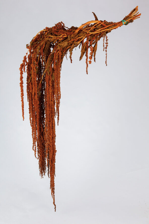 Amaranthus Hanging Dry Bronze