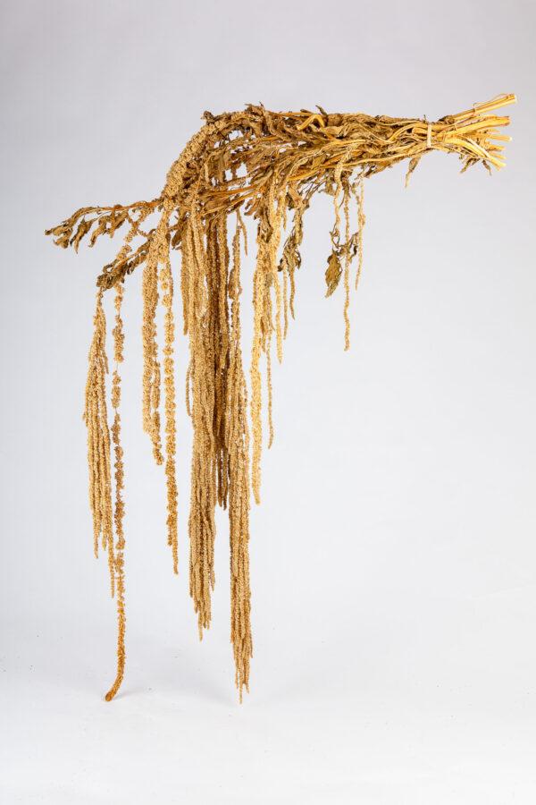 Amaranthus Hanging Dry Brown