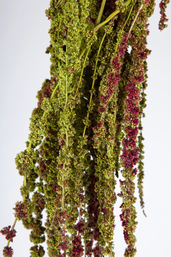 Amaranthus Hanging Dry Green & Red