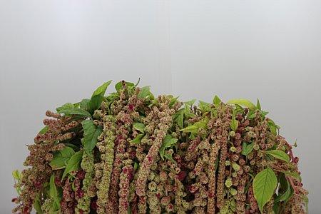 Amaranthus Hanging Mira (EUR)