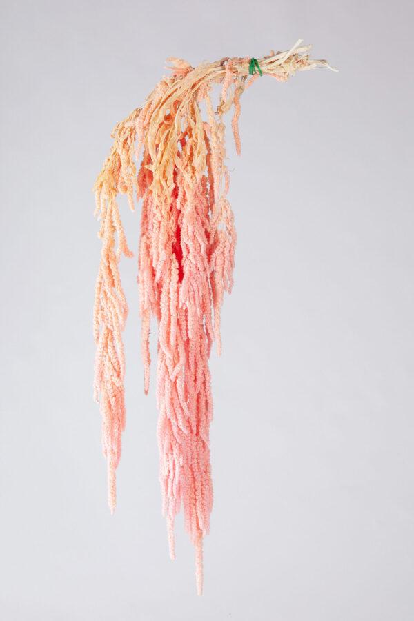 Amaranthus Hanging Preserved Baby Pink