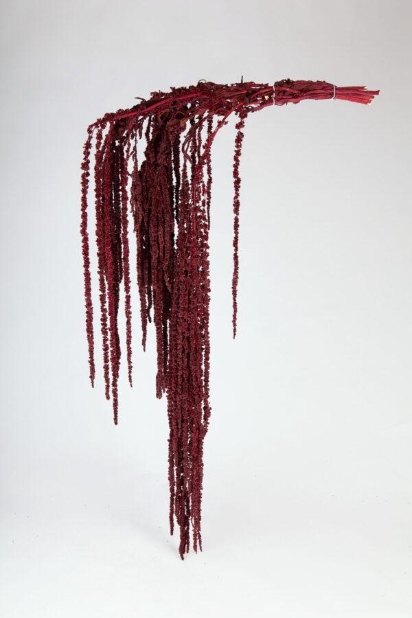 Amaranthus Hanging Preserved Burgundy