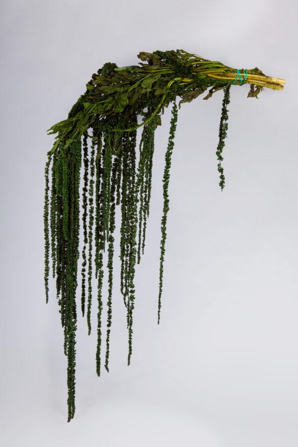 Amaranthus Hanging Preserved Green