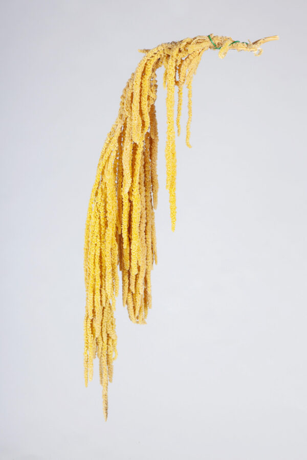 Amaranthus Hanging Preserved Light Yellow