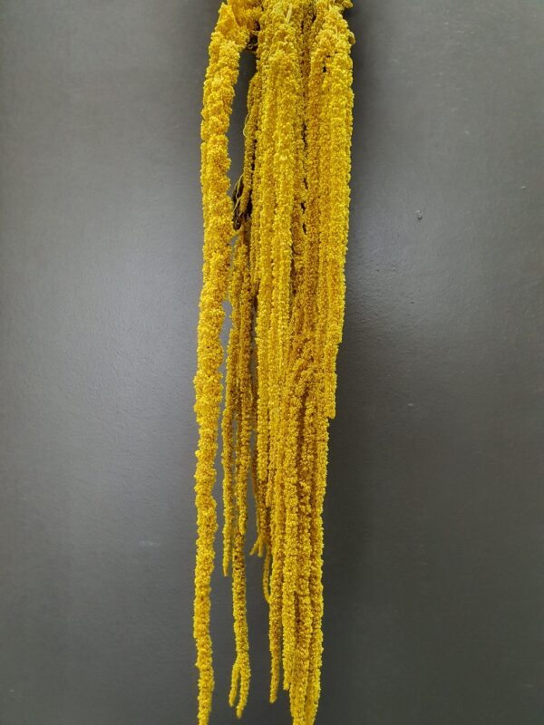 Amaranthus Hanging Preserved Yellow