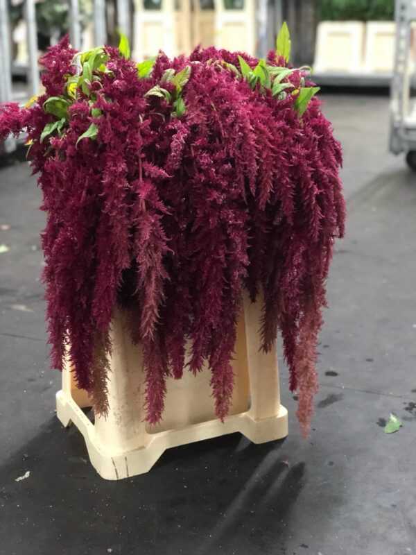 Amaranthus Hanging Red Spider (EUR)