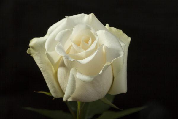 Roses Amelia
