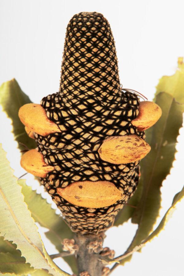 Banksia Menziesii Cones Tinted Apricot