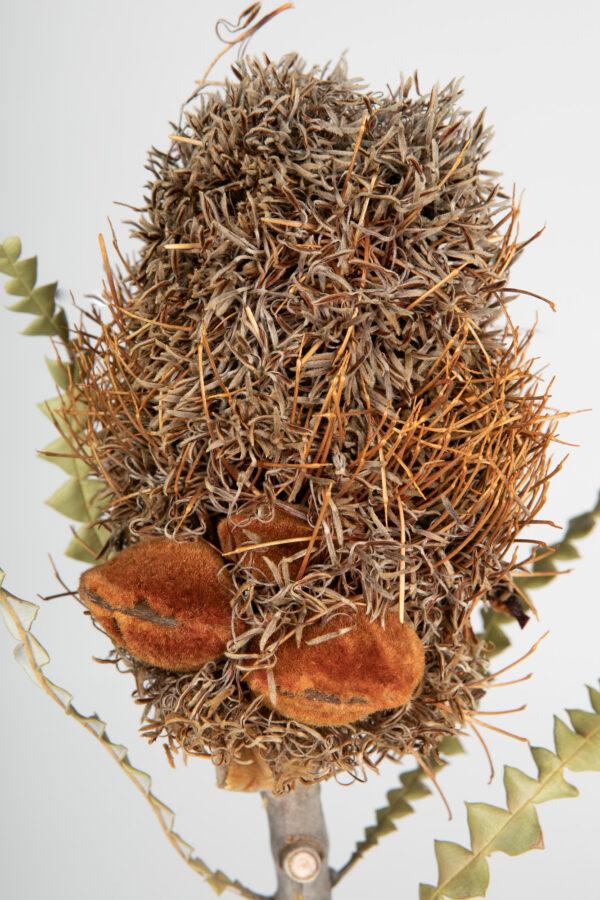 Banksia Speciosa Cones Tinted Apricot