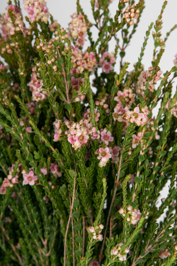 Scholtzia Pink Tinted Apricot