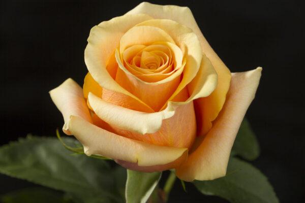 Rose April