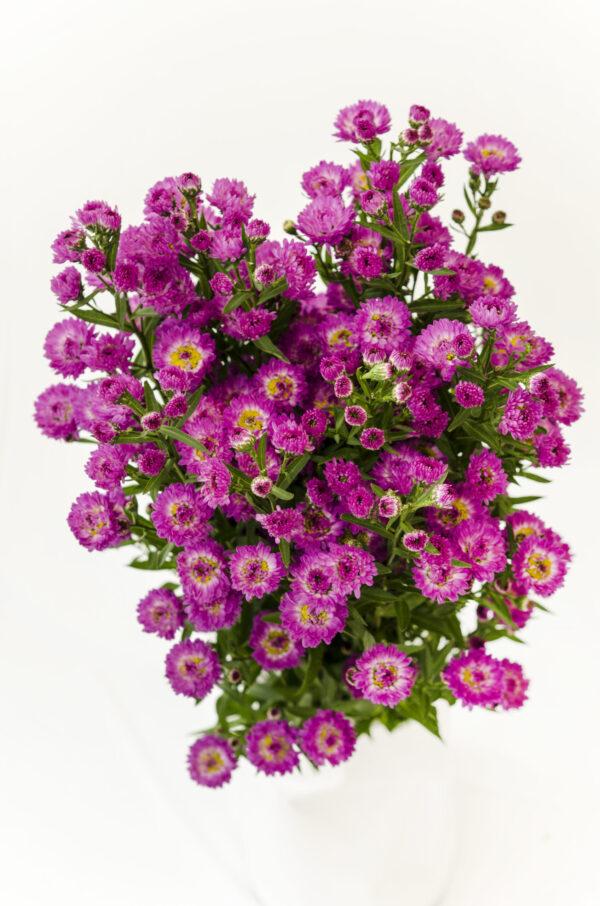 Aster Purple