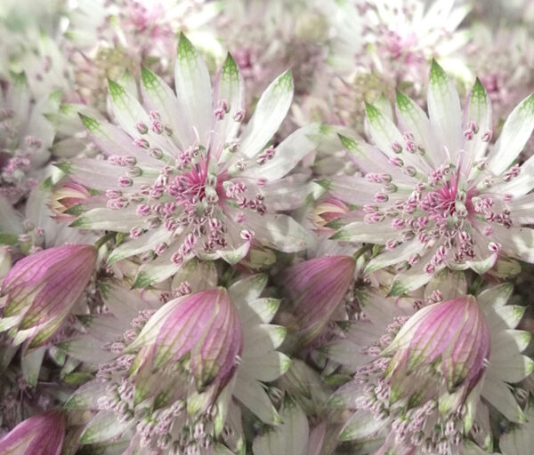 Astrantia Light Pink