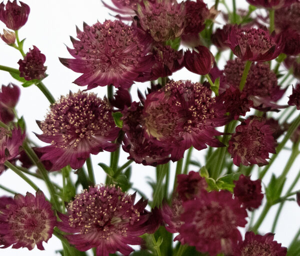 Astrantia Marinda Red