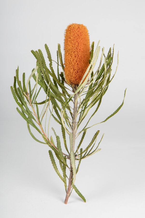 Banksia Attenuata Fluffy Tinted Apricot
