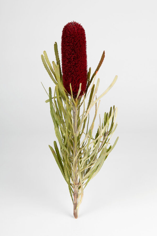 Banksia Attenuata Fluffy Tinted Dark Red
