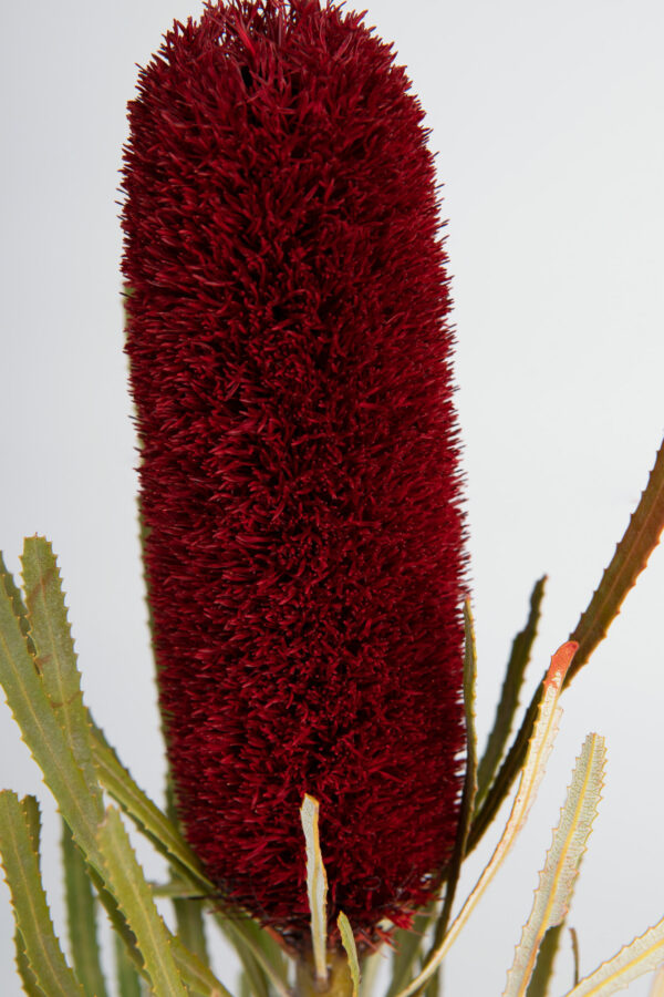 Banksia Attenuata Fluffy Tinted Dark Red