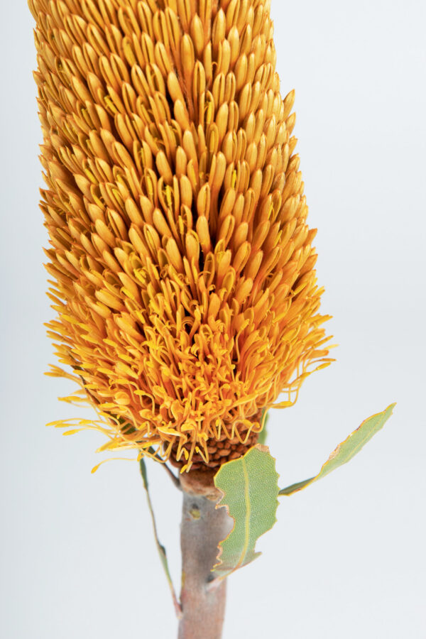Banksia Sceptrum Candles Tinted Apricot