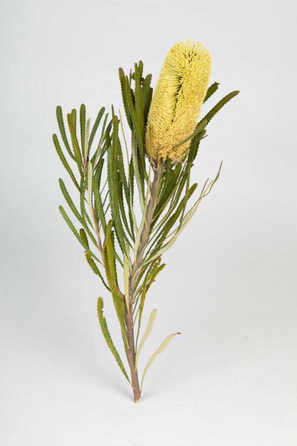 Banksia Attenuata