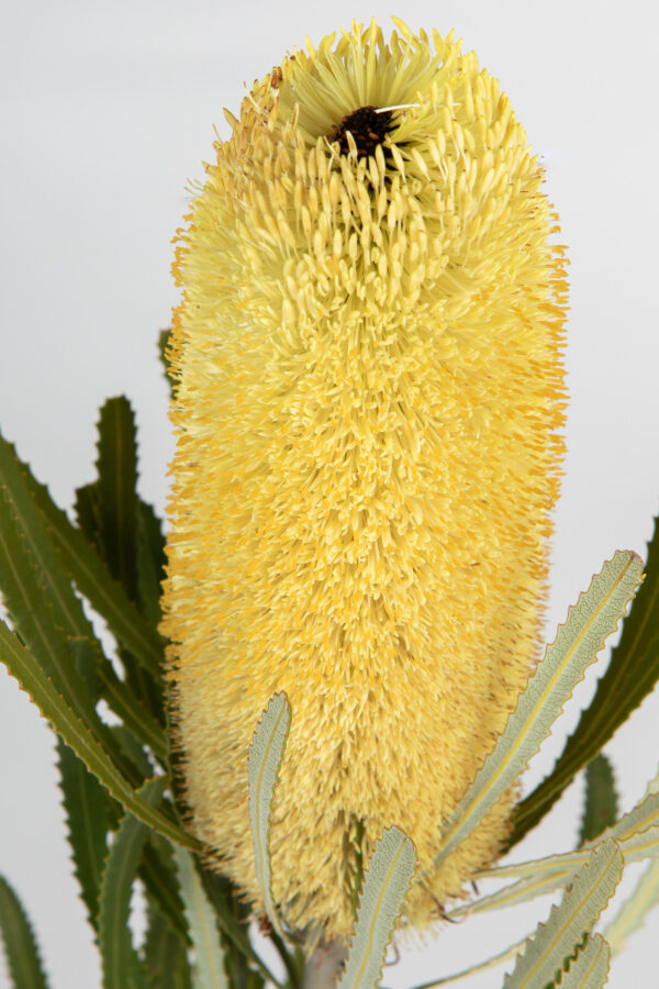 Banksia Attenuata Fluffy