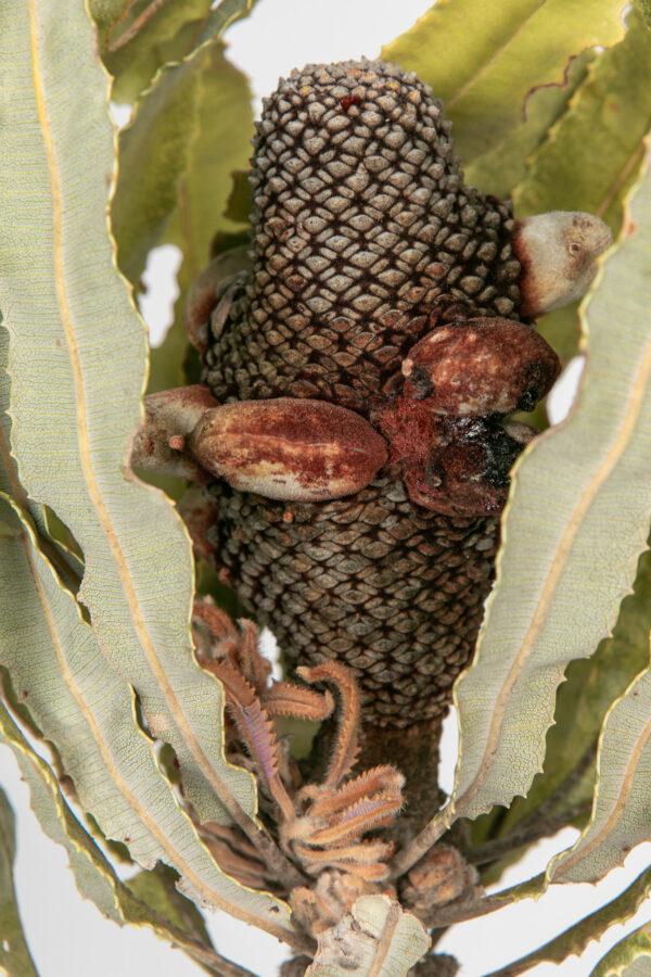 Banksia Menziesii Cones