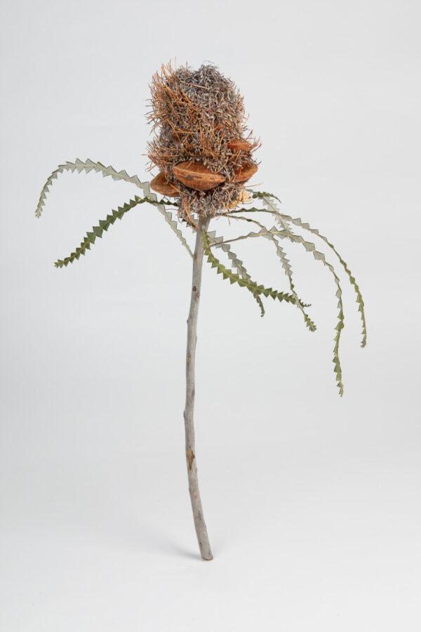 Banksia Speciosa Cone Hairy