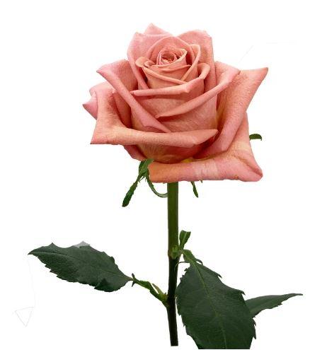 Rose Barista