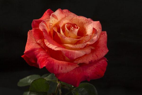 Rose Bengala