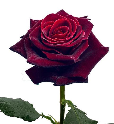 Rose Black Bacarra