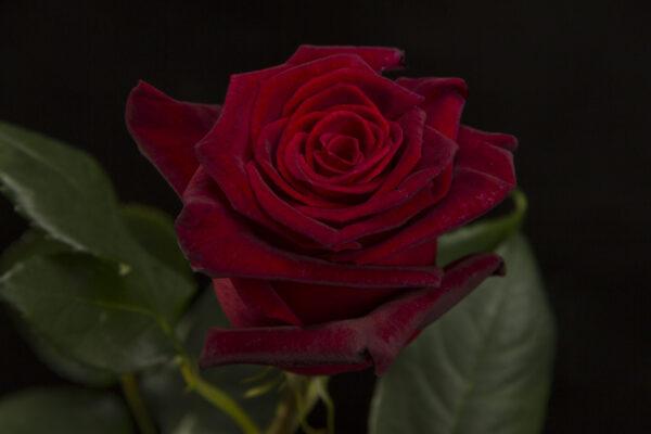 Roses Black Bacarra