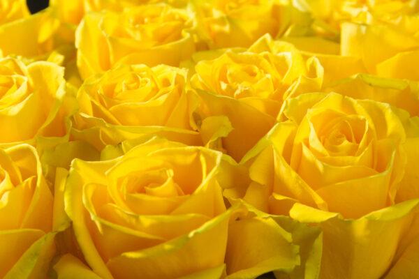 Rose Brighton