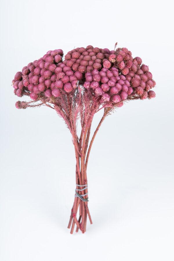 Brunia Albiflora Dry Tinted Antique Pink