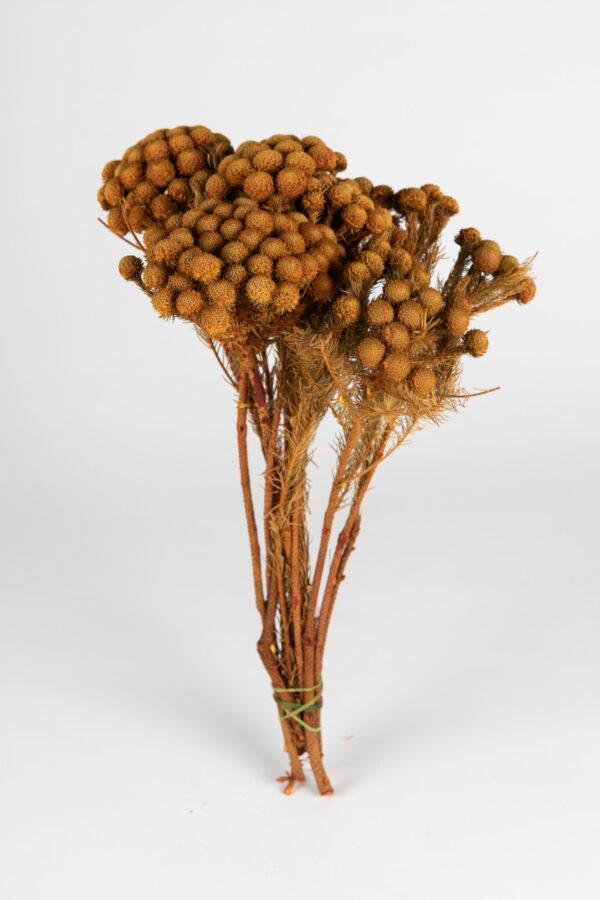 Brunia Albiflora Dry Tinted Apricot