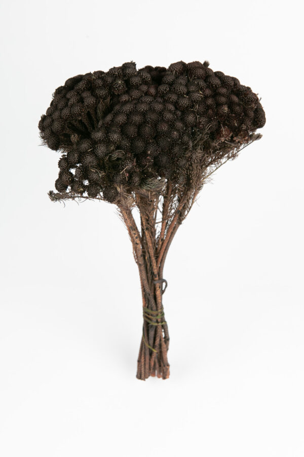 Brunia Albiflora Dry Tinted Black