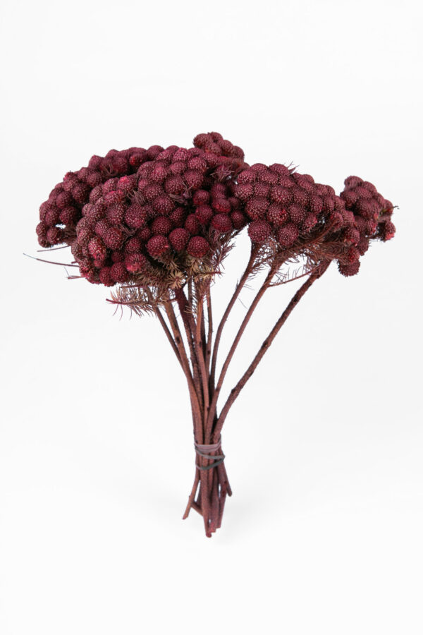 Brunia Albiflora Dry Tinted Bordeaux