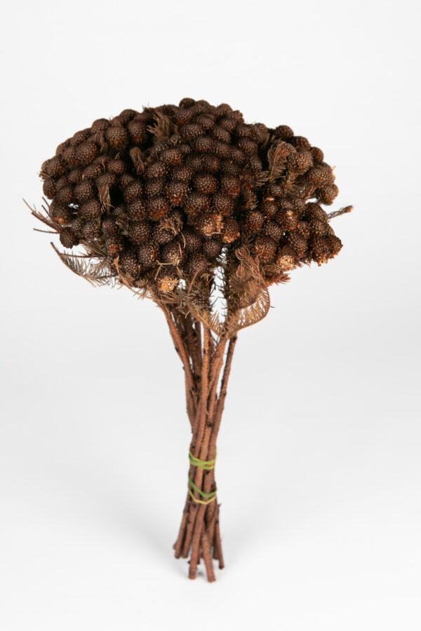Brunia Albiflora Dry Tinted Brown