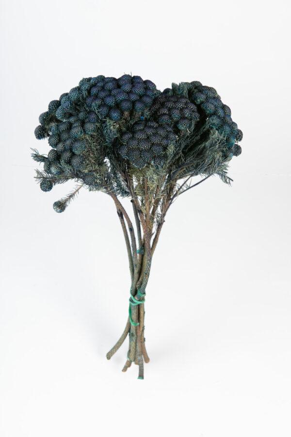 Brunia Albiflora Dry Tinted Dark Blue