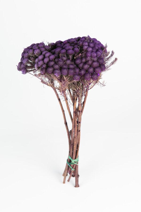 Brunia Albiflora Dry Tinted Dark Purple