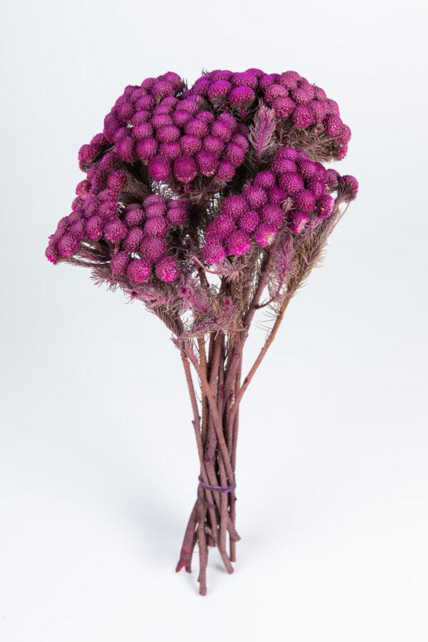Brunia Albiflora Dry Tinted Fuchsia