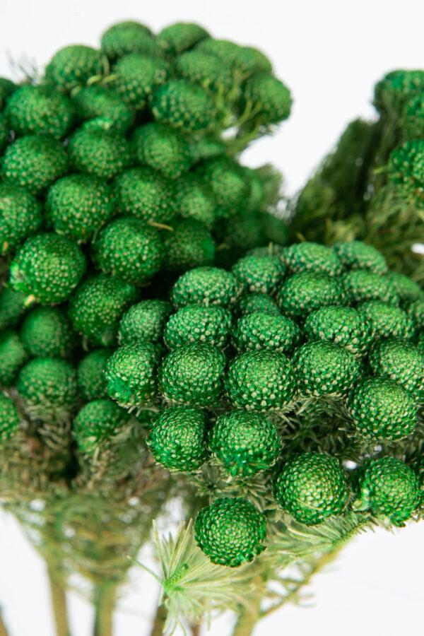 Brunia Albiflora Dry Tinted Green