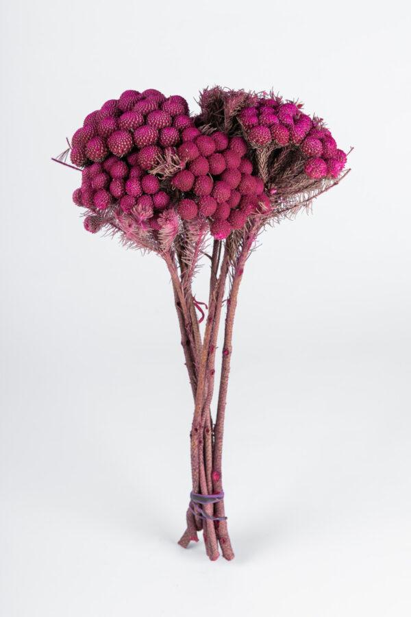 Brunia Albiflora Dry Tinted Hot Pink