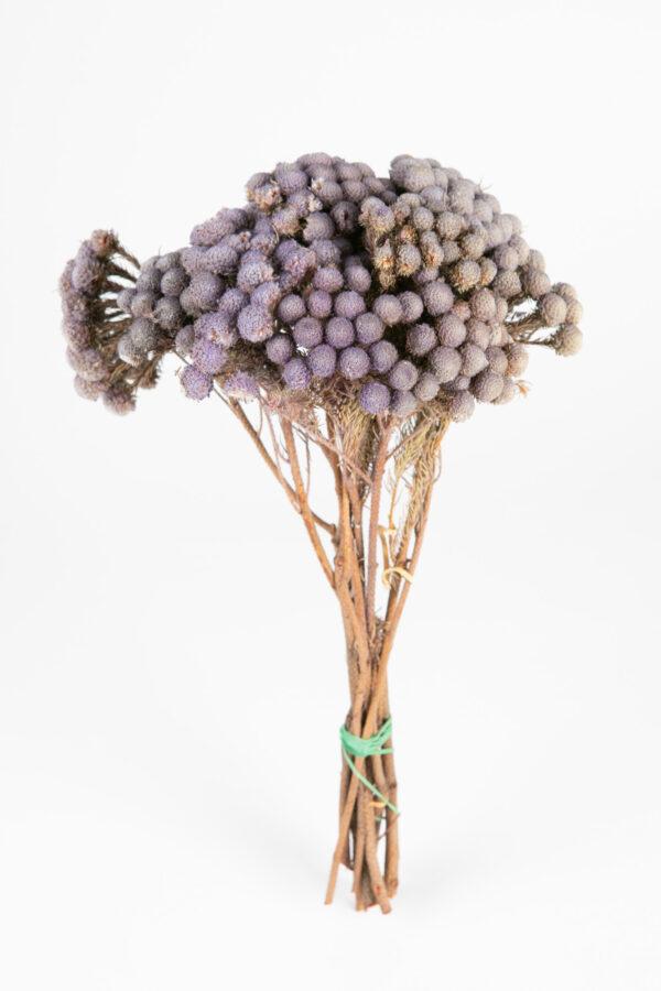 Brunia Albiflora Dry Tinted Light Purple