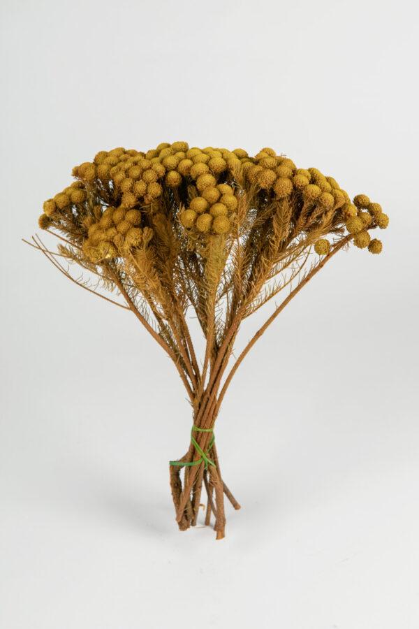 Brunia Albiflora Dry Tinted Yellow