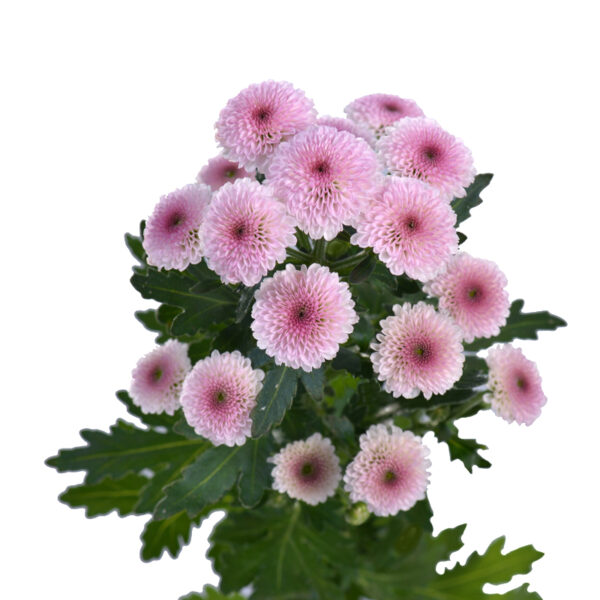 Chrysanthemum Calimero Pink 2009